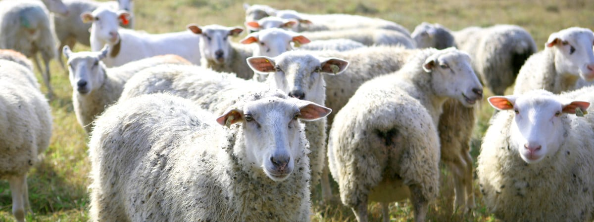 Green Dirt Farm: Our Story: Green Dirt Farm: Our Story: Sheep