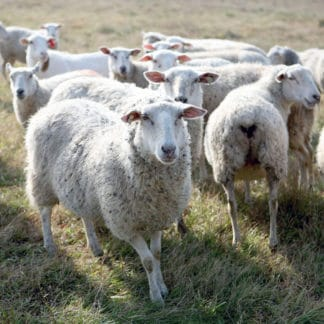 Visit Green Dirt Farm for grass-fed sheep cheese.