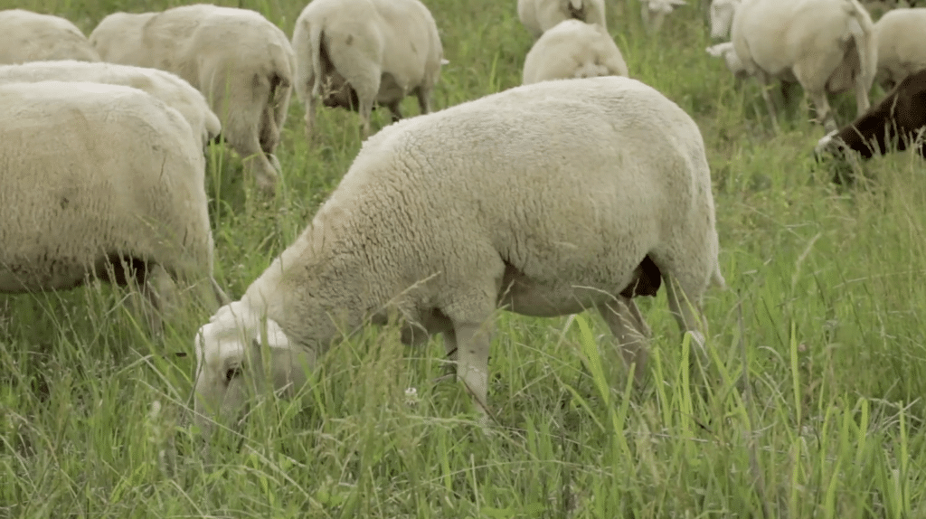 Welcome to Green Dirt Farm! Our sheep graze on a variety of grasses, adding flavor to our sheep milk cheese.